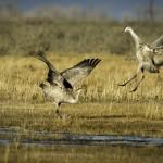 Cranes 1