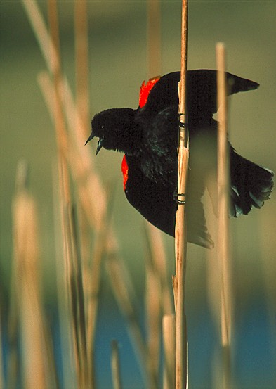 Red Winged Black Bird - Ken Archer