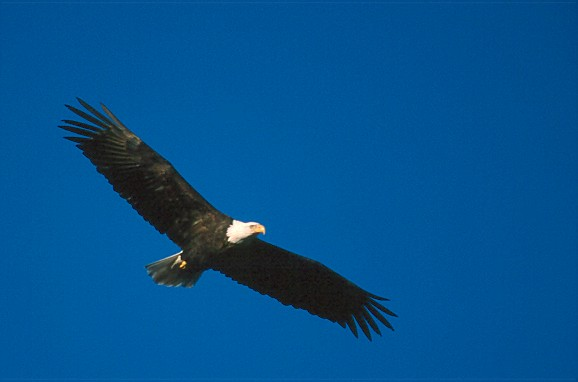 Bald Eagle - Ken Archer