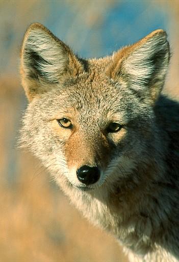 Coyote - Ken Archer