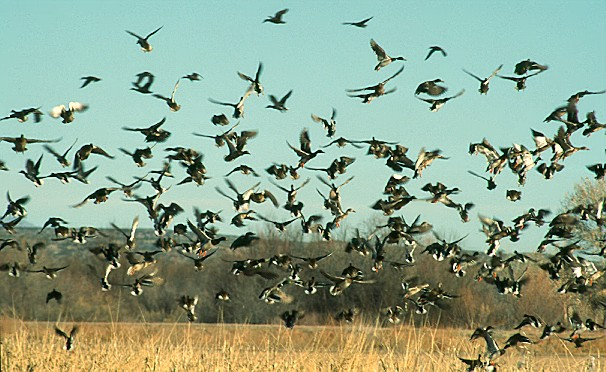 Mallard Flock - Ken Archer